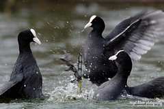 Coot, Fulica atra; a group of Coots fighting (Nigel Blake, 13 MILLION...Yay! Many thanks!) Tags: group fighting coot atra coots fulica
