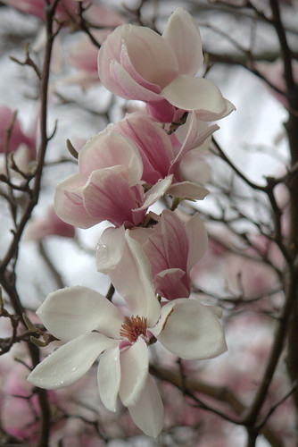 Theres a magnolia tree in my yard!