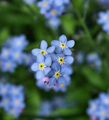 Blomke (Hindrik S) Tags: blue light plant flower color macro green nature yellow garden colorful blauw dof heart bokeh sony natuur creation tuin blau bloem kleur a300 myosotis naturesfinest blom schepping sonyalpha naturesgallery tn platinumheartaward natoer skepping 300 alpha300 blomke