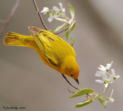 Yellow Warbler! (JRIDLEY1) Tags: fab white green yellow spring michigan explore buds yellowwarbler bej zenfolio abigfave platinumphoto ultimateshot brightonmichigan jridley1 jimridley photocontesttnc09 dailynaturetnc09 httpjimridleyzenfoliocom photocontesttnc10 lifetnc10 jimridleyphotography photocontesttnc11 photocontesttnc12