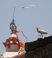 The temple dancer (asis k. chatt) Tags: india bird nature orissa puri naturephotography naturalharmony naturewatcher mygearandme