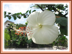 Hibiscus rosa-sinensis 'Dainty White', seen around our neighborhood