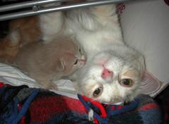 Mamma... stai bene? (..:*  *:..) Tags: cat mom kitten chat you mother kitty gato mamma come how gatto gatito gattino gatta gatino stai aissi shecat mywinners ciprio