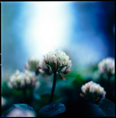 radiated (moaan) Tags: life blue flower color green 120 6x6 mediumformat spring flora dof bokeh may tint neighborhood squareformat utata bloom flowering clover hue 2009 f28 darkblue planar blooming trefoil florescence vicinity 80mm carlzeiss inbloom hasselblad500cm efflorescence fujivelvia100 rvp100 explored inlife extension32e extension16e carlzeissplanarc80mmf28 gettyimagesjapanq1 gettyimagesjapanq2