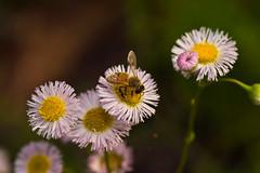 Honey Bee On Fleabane (aeschylus18