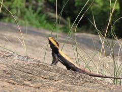 Lizards at Ramanagaram (crazy_tiger) Tags: macro lizards ramanagaram