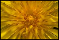Sunburst (Fozzeee) Tags: uk england flower macro yellow geotagged gold petals nikon may dandelion stamen gb bloom sunburst berkshire geotag 2009 newbury 05may penwood d90 nikond90club