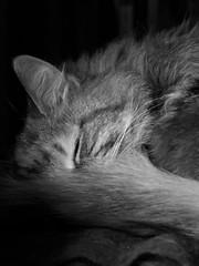 "A ""Cat"" Nap... (AGreatEuropeTripPlanner!) Tags: blackandwhite cats cat chats katten gatos gatto katzen gatti blackandwhitephotography blackandwhitecats petswelove blackwhitephotos crazyaboutcats flickrhearts kissablekitties kittycrownofgreatness gattodomestico siamesecatsandtheirfelinebrothers blackandwhitekittys specialpetportraits catsmeawwww"