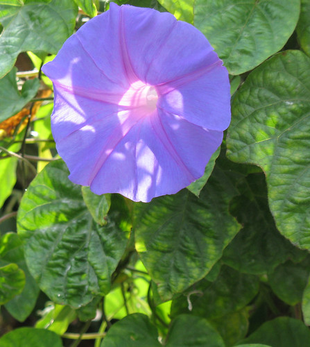 morning glory vine and flower