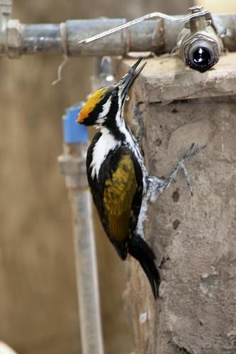 white naped woodpecker