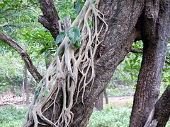 Strangler Fig - A Parasitic Tree