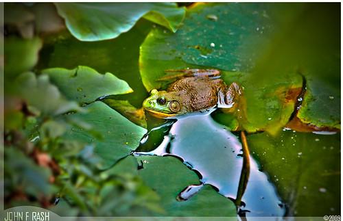Duke Gardens Frog