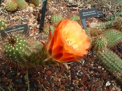 "echinopsis ""apricot glow"" (carolyn1979il) Tags: pink flowers blue red cactus orange white green yellow purple echinopsis apricotglow"