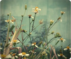(Syka L Vy) Tags: flowers wild black vietnam vy fade dreamer 2009 sleepwalker l syka vng fromsykawithlove forthesummertimeblues sykalevy lehoangvy sundayspirit