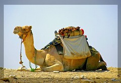 (926) Bye Egypt ! / camel / Tour end ! (unicorn 81) Tags: africa travel sahara nature animal animals trekking geotagged sand northafrica egypt camel egyptian finish egipto 2009 gypten animale egitto excursion kamel egypte reise egypten rundreise roundtrip egipt gypte mapegypt misr wonderworld nordafrika egypttrip april2009 gypten aegyptus  gyptusintertravel gyptenreise schulzaktivreisen treanim meinjahr2009