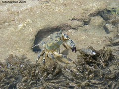 Cangrejo (SOF76) Tags: summer brazil praia beach animal brasil holidays crab playa bahia verano vacations isla ilha vacaciones morro morrodesaopaulo verao cangrejo feiras carangueijo salvadordebahia crustaceo crustceo fotossofia sof76 sofiamartinezvivot sofamartnezvivot fotossofi cangrejobrasil