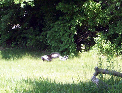 Skunk_Mom4Babies_60609bcropped