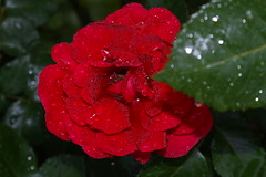 Rose im Regen (Ellenore56) Tags: pink flowers red sun flower color rot love nature fleur colors beautiful rose germany garden deutschland perfume flavor sony natur pflanze rosa blumen gelb crop alemania lovely mygarden blume sonne farbe garten liebe yello germania odor farben flore flavour  myflowers odour sehnsucht duft schmerz niedersachsen lowersaxony  myrose nture twinge larosa wunderschn laflor a350 meingarten dslra350 sonya350 desirefor sonydslra350 republicafederaldealemania ellenore56