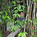 Botanist Stephen Hodges is right in his element: surrounded by tropical plants while conducting field research