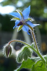 Borage blooms