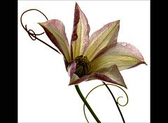 Clematis' curves (Ellen_Anne (mostly off)) Tags: flowers nature natur clematis blumen firstquality worldsartgallery redmatrix