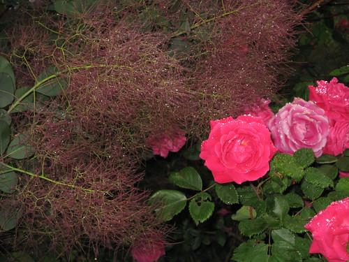 Rainy Rose Bush