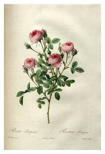008-Les roses 1817-1824- Pierre-Joseph Redouté