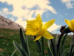 narciso (jacilluch) Tags: flower macro fleur yellow flor blossoms asturias daffodil campanilla silvestre narciso amarilla narcissus cucos clavelines amarillidcea