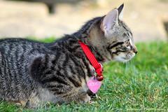 Biskit (JonCoupland) Tags: wolfie cat kitten jon cookie pussy lincolnshire coupland biskit swineshead thornalley