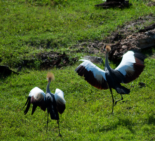 animals cranes