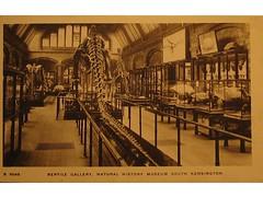 Antique postcard: Reptile Gallery, Natural History Museum, London (Baltimore Bob) Tags: london history museum fossil dinosaur natural reptile postcard fossils reptiles diplodocus