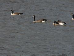 P1010560 (MeRyan) Tags: public birds rivers