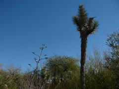 Desert Blue Sky (alist) Tags: phoenix garden botanical desert alicerobison