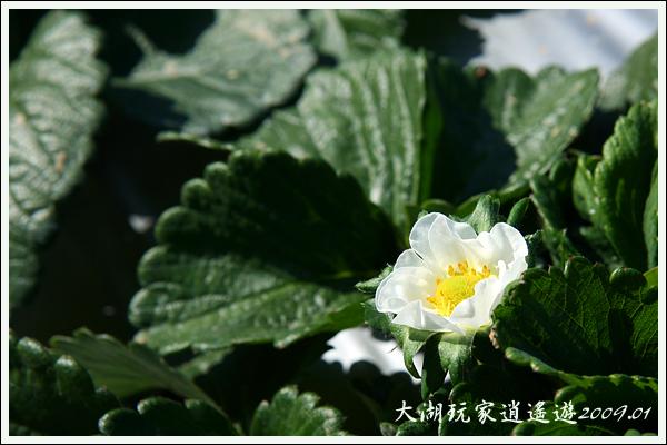 090117_14_採草莓