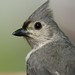 "A ""Tiny"" Tufted Titmouse"
