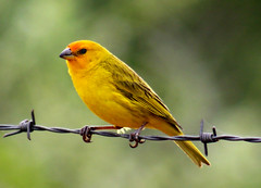 Canrio-da-terra - (Saffron finch) - (Sicalis flaveola) (claudio.marcio2) Tags: bird nature natureza pssaro birdwatcher aclass wonderfulnature allyouneedislove blueribbonwinner justonelook birdsbirdsbirds flickrnature breathtakiing goldenmix golddragon godnature anawesomeshot aplusphoto agradephoto ultimateshot nationalgeographicareyougoodenough crystalaward avianexcellence excellenceinavianphotography birdsphotos birdsarebeautiful photostosmileabout brilliant~eye~jewels naturewatcher goldsealofquality natureunlimited theperfectphotographer goldstaraward dragongoldaward multimegashot birdsinsideandoutside worldnaturewildlifecloseup vosplusbellesphotos thewonderfulworldofbirds naturegreenstar naturescreations dragonflyawardsgroup theworldsbestnaturewildlifeandmacrophotograhy eperkedaward