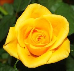 gelbe Rose (sabine1955) Tags: flowers blumen rosen soe potofgold natureselegantshots rubyphotographer awesomeblossoms xtremeboquet