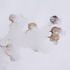 bending (the incredible how (intermitten.t)) Tags: brown snow plant dead dry pale neutral 1763 070209 unexpectedheavysnow