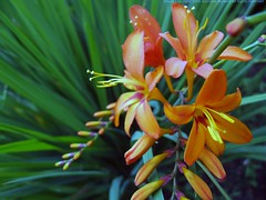 CROCOSMIA 'Jupiter'