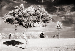 Castillo Tree HIE 2 (Jamie Powell Sheppard) Tags: blackandwhite bw tree art film clouds ir photo florida nps fort fineart palm canonae1program staugustine sepiatone twisty 35mmslr femalephotographer hc110dilb woodeffect castillodesanmarcosnationalmonument thiaps filmwins jamiepowellsheppard 29darkredfilter kodakhiebwinfrared keepted believeinfilm