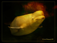 0141 Beluga (QuimG) Tags: naturaleza nature yellow golden spain europe natura textures harmony chapeau beluga lifeisgood zuiko soe dreamcatcher bestofflickr musictomyeyes valncia ineffable pasvalenci blueribbonwinner thegoldengallery loceanogrfic justonelook thecontinuum photographicexcellence bluemoonrising mywinners specialtouch innamoramento royalgroup diamondheart flickraward citrit granell theunforgettablepictures diamondstars quimg dragongoldaward olympuse3 spiritofphotography multimegashot thegoldproject animalsinzoosparks photoshopcreativo thedavincitouch extraordinaryphotography obq vosplusbellesphotos oraclex justproject thelightpainterssociety doubledragonawards dragondaggerphoto dragondaggeraward thebestvisions flightsoffancyforever sensationalphoto mesart thedantecircle themonalisasmile imagesforthelittleprince naturesinfinitebookofsecrecy visionqualitygroup worldsartgallery dragonsdanger tumiqualityphotography quimgranell joaquimgranell arttouch genieslight thepowerclubgold papascave