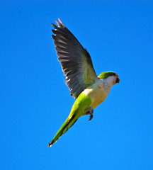 New Jersey Quaker Parrots - Monk Parakeets by Scott Hudson