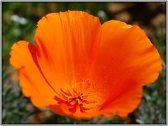 California Poppy (tdlucas5000) Tags: california flowers flower color macro poppy poppies lancaster eschscholzia wildflower californica