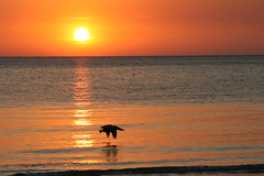 Sunset, St. Pete (jwolf312) Tags: sunset bird stpetersburg florida pelican stpete