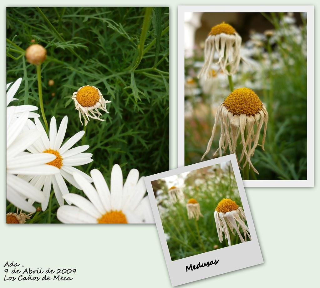 Medusas (Flores)