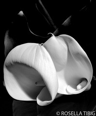 flowers (rosellaphoto) Tags: sanfrancisco bw copyright stilllife closeup blackwhite flora nikon indoor emulation masterphotographer 18200mm d90 imogenecunningham sfchronicle96hrs rosellatibig