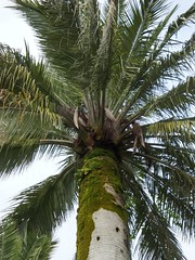 Wine Palm, Russia (Vlad Feoktistov) Tags: old blue trees holiday tree contrast wonderful garden botanical happy coast spring warm paradise wine russia gray arboretum palmeiras palm resort enjoy promenade vegetation tall russian subtropical palmae climate pleasant russie hardy sochi rusia chilean subtropics  russland   arecaceae   jubaea jubea sotchi dendrarium  palmaceae sotschi soi