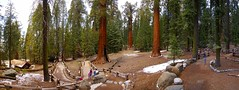 General Sherman panorama (Vitor Rodrigues) Tags: california park autostitch panorama usa tree panoramic national sequoia tress sequoias