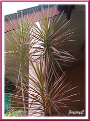 Dracaena marginata 'Tricolor' in our garden