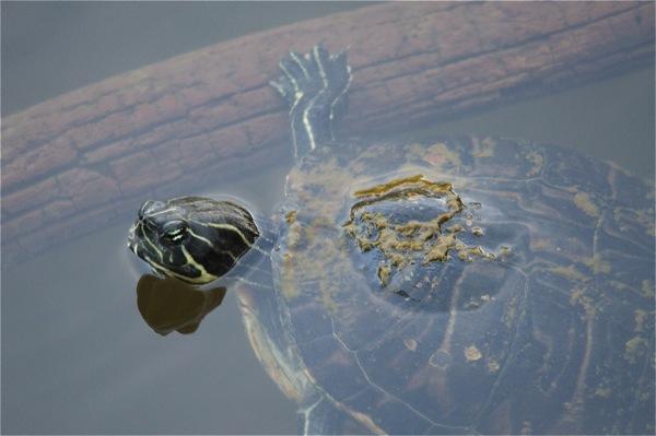 turtle_0109